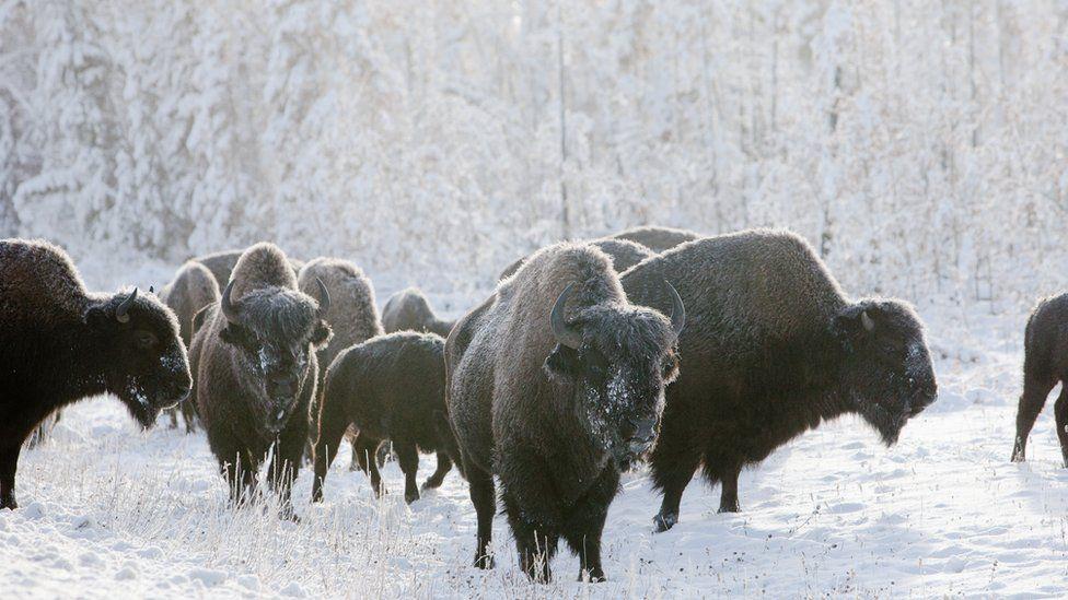 Woodland buffalo
