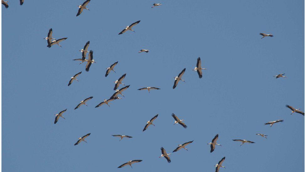 A flock of storks