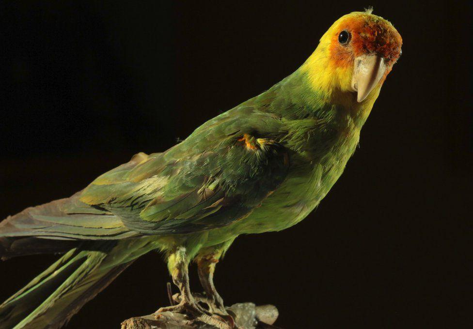 Carolina parakeet specimen
