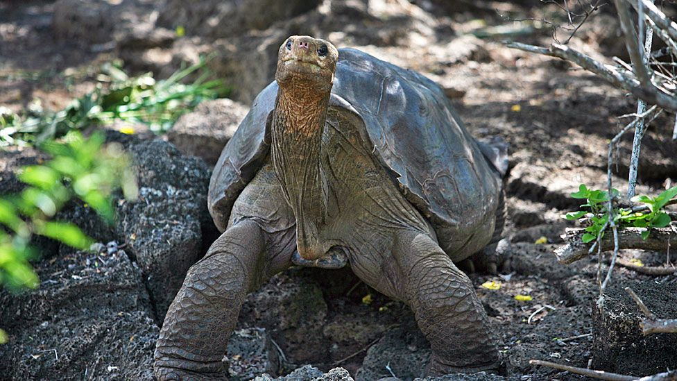 George Solitário, a famosa tartaruga das Ilhas Galápagos, pode ser a chave para a longevidade