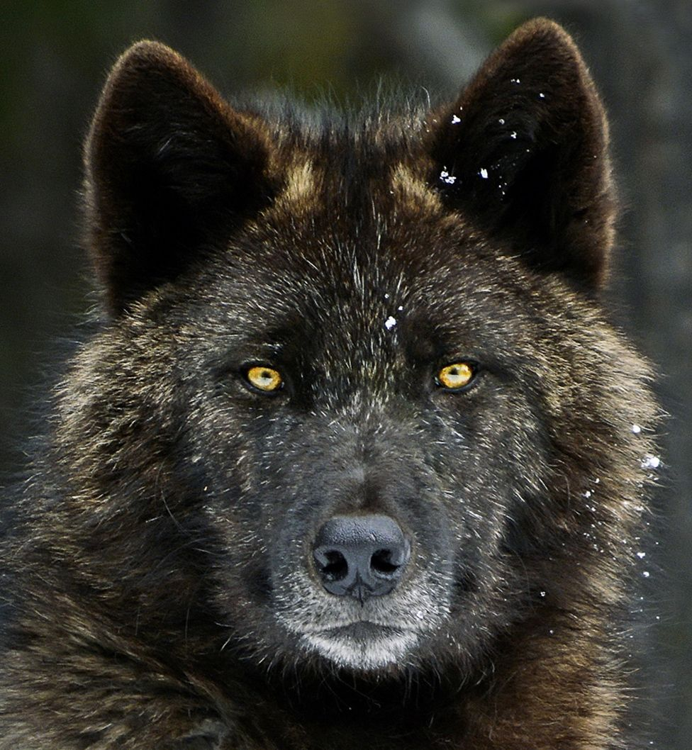 Picture taken at Banff National Park in 2011 of a male wolf