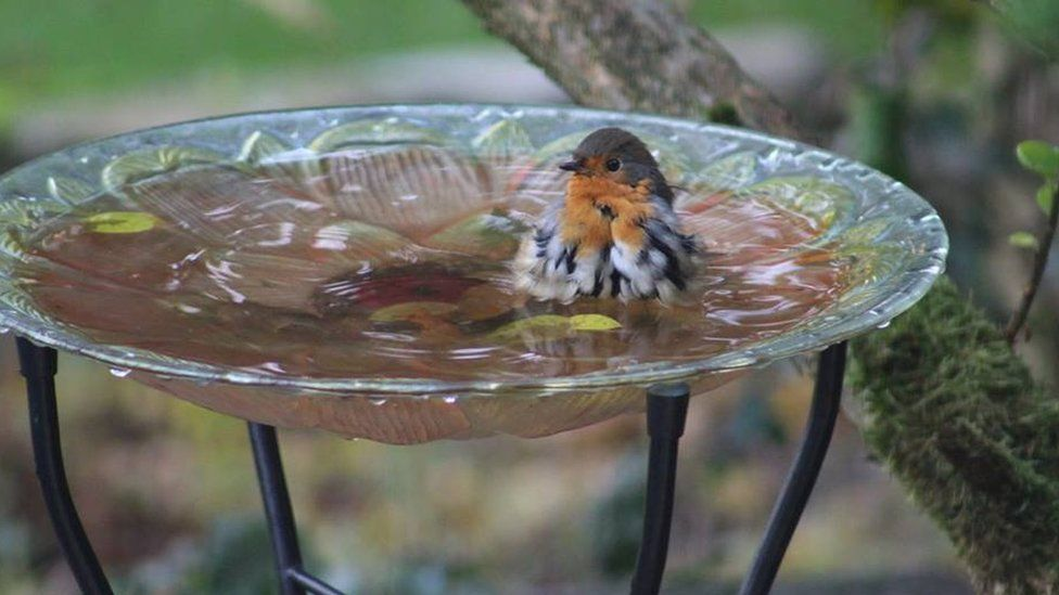 A Robyn in a bird bath