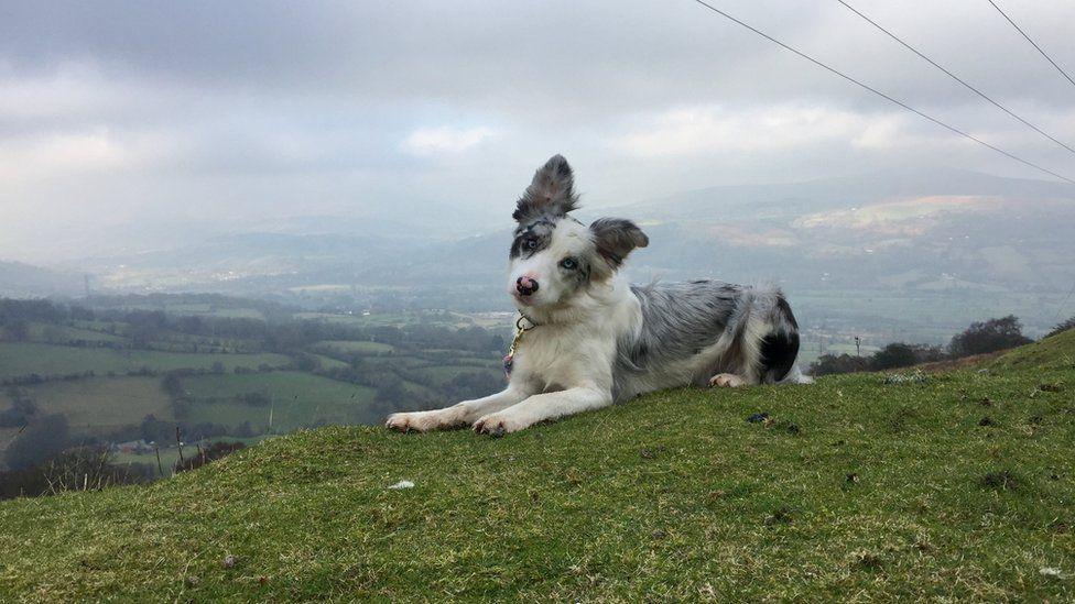 Silver the dog on the Blorenge near Abergavenny, Monmouthshire