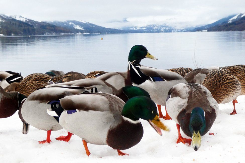Ducks at St Fillans