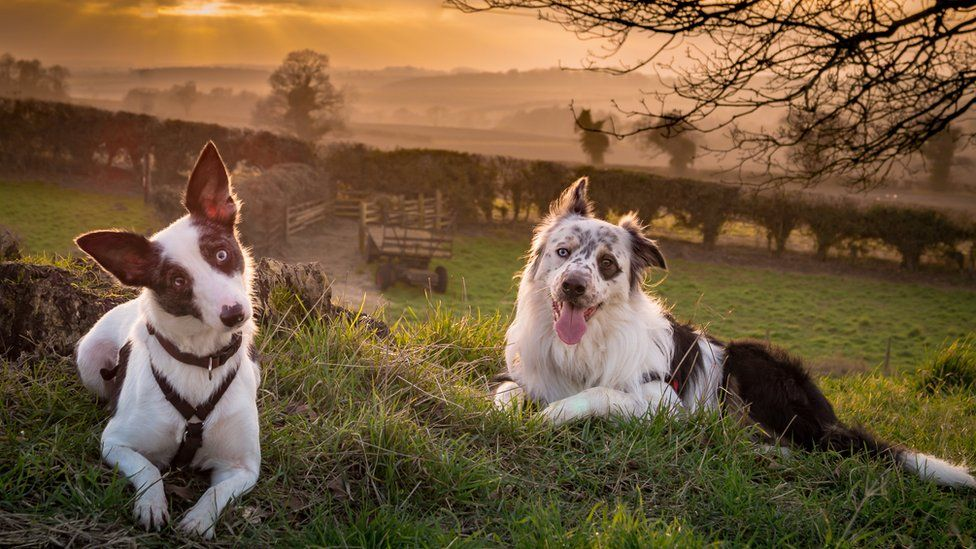 border collies Sapphire and Bandit