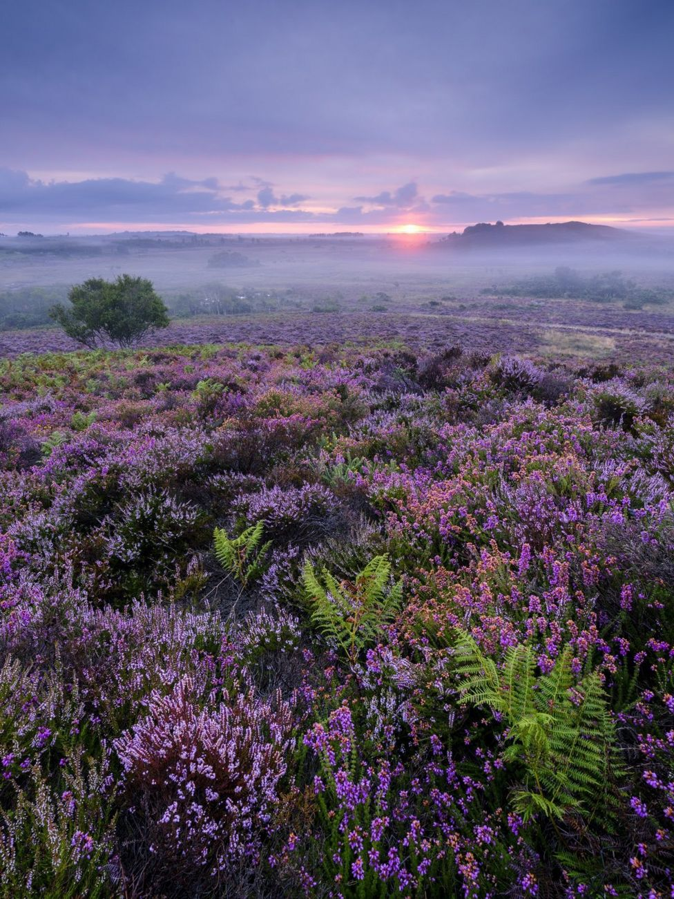 Purple heather in a misty landscape