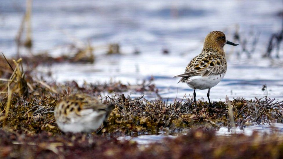 Spoon-billed sandpiper in the wild (c) WWT