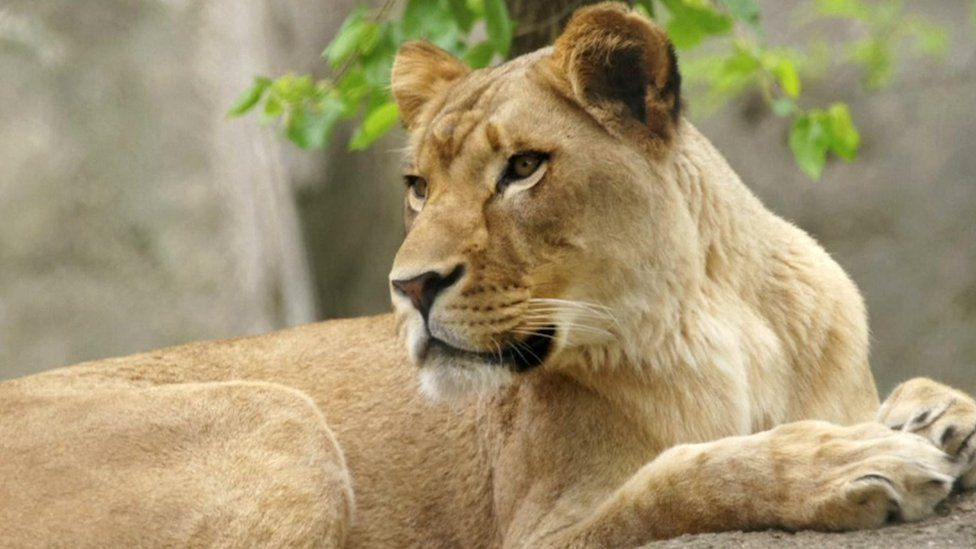 Why did this lioness kill the father of her cubs? - BBC News