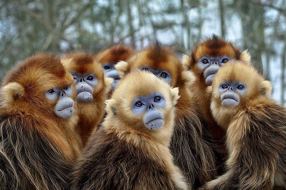 Golden snub-nosed monkeys, Eastern China