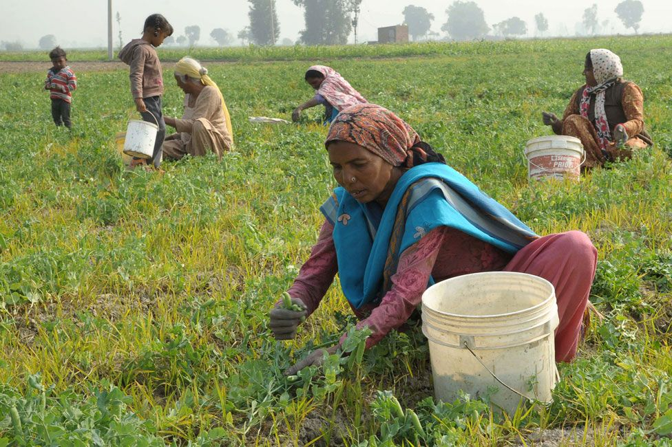 Collecting peas in Amritsar