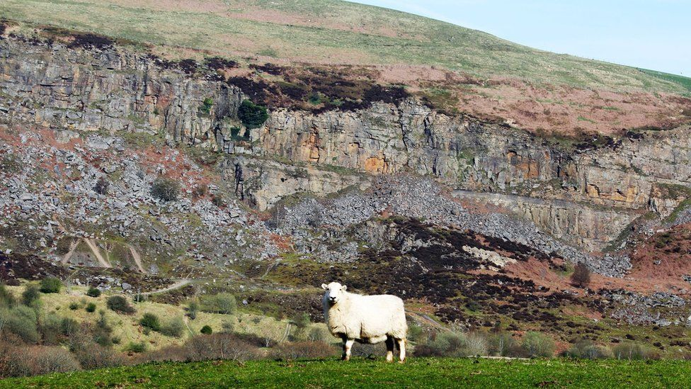 """A confident sheep in front of """"The Slip"""" between Abertysswg and New Tredegar in the Rhymney valley"""