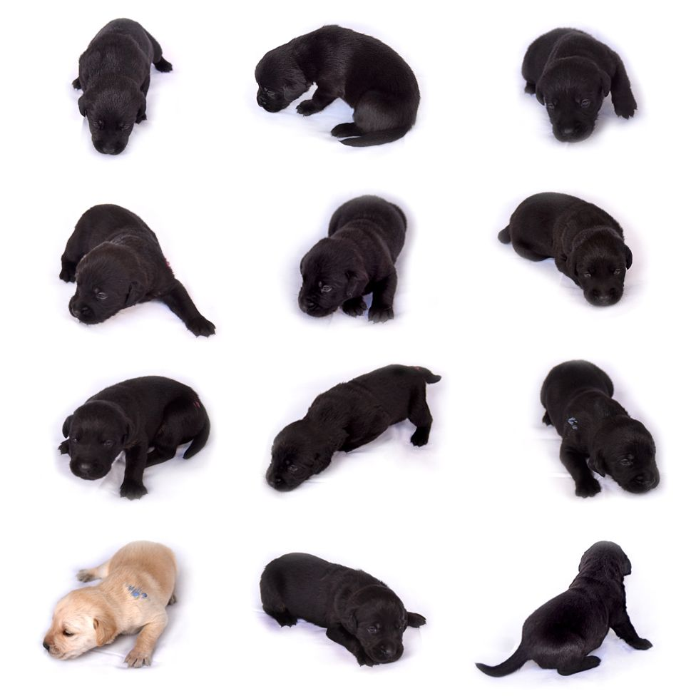 The litter of 12 puppies pictured at 2 weeks old