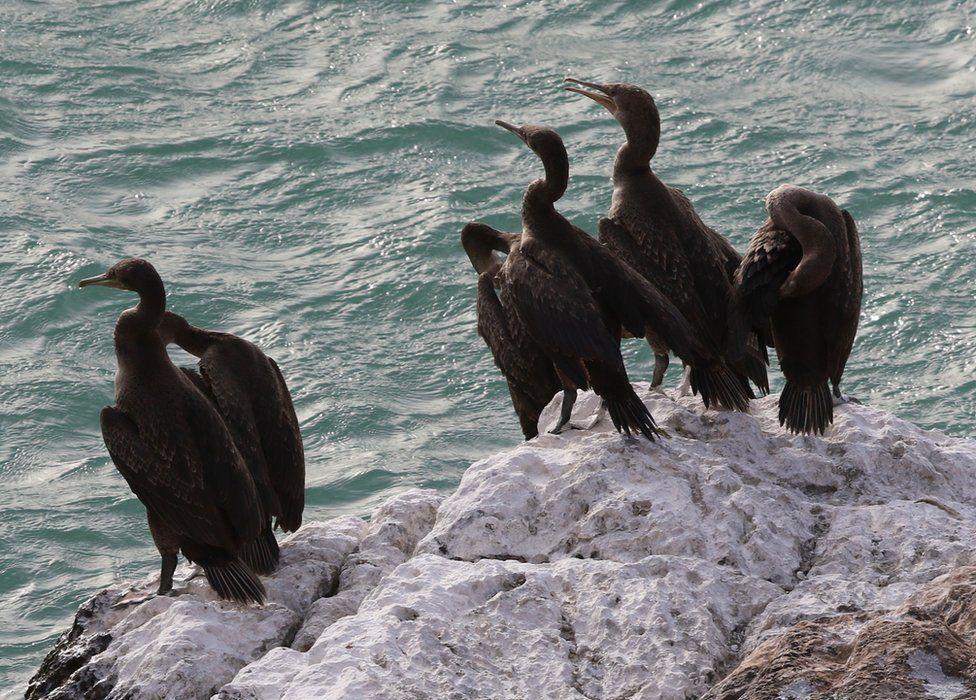 Socotra cormorants