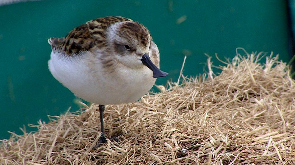Captive-bred spoon-billed sandpiper in an aviary in WWT, Slimbridge