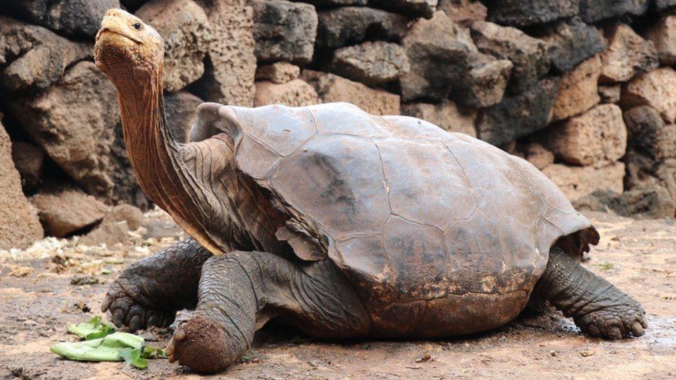 Diego, the giant tortoise