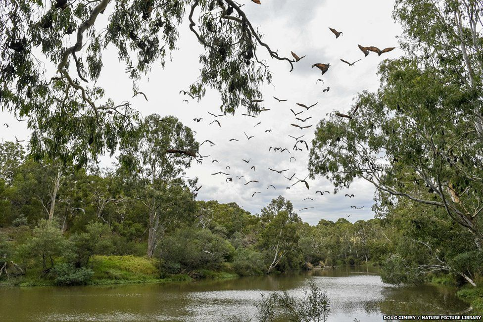 Grey-headed flying foxes flying over the Yarra River, near Melbourne.