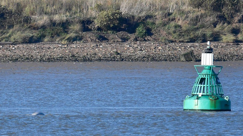The whale in the river near a buoy