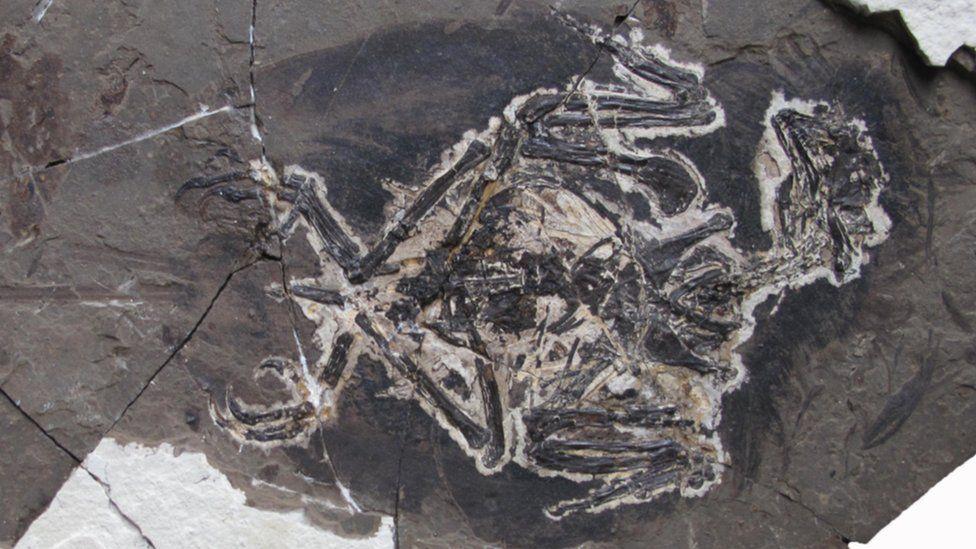 The fossil Bohaiornithidae
