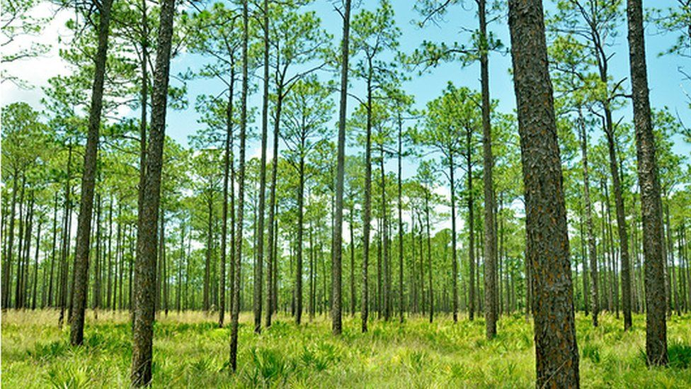 Pine forests are a familiar sight in the Northern Hemisphere