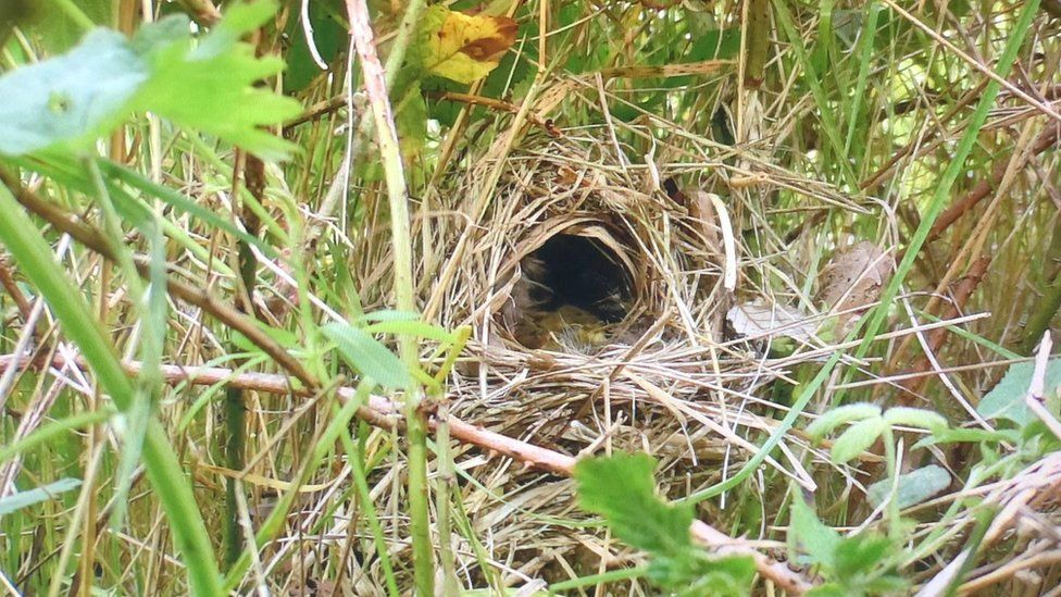 A chiffchaff nest just above the land level and built out of tightly woven grass