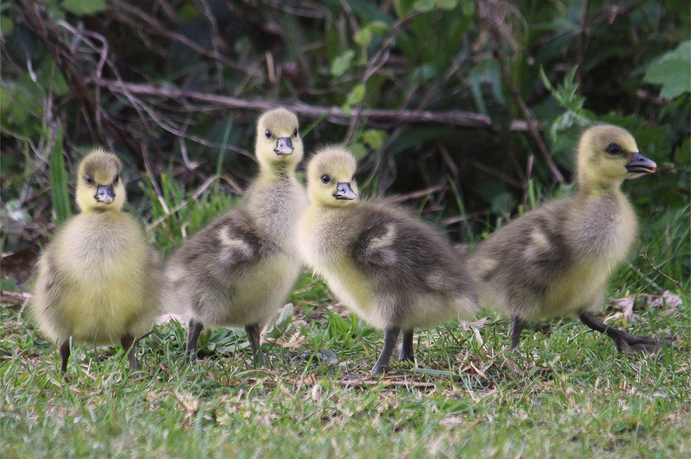 Four ducklings on grass