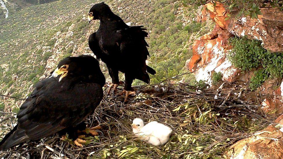 Verreaux's eagle chick with parents