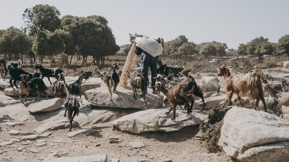 Person feeding a herd of goats outdoors
