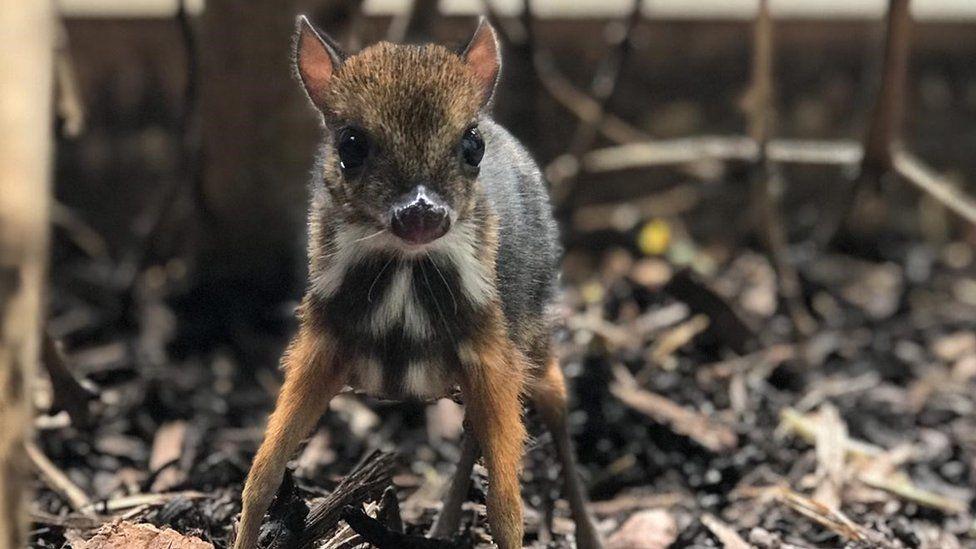 Infant mouse deer