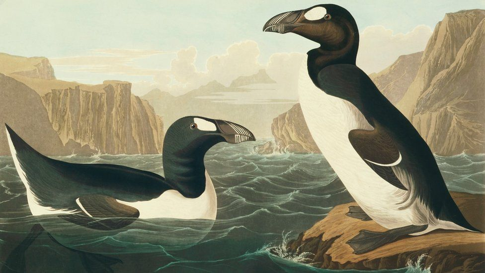 Artwork depicting the great auk (c) Science Photo Library