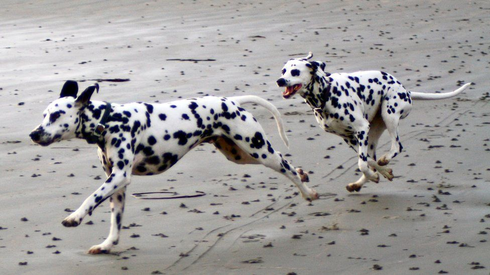 Two dalmations