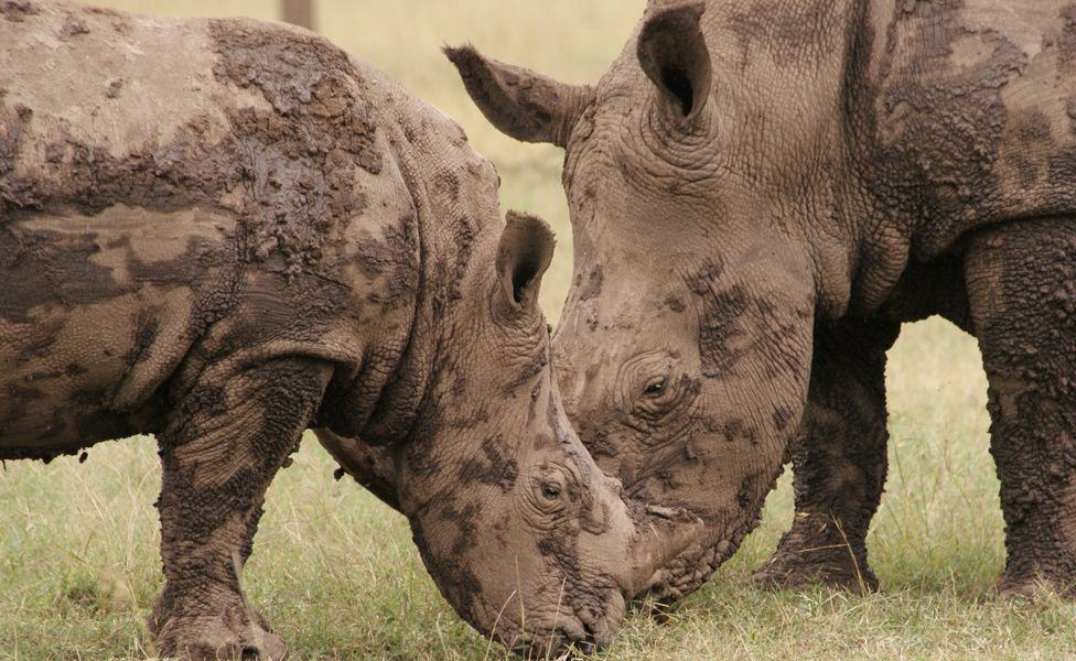 Adolescent female southern white rhino and her calf at Ol Pejeta Conservancy in central Kenya