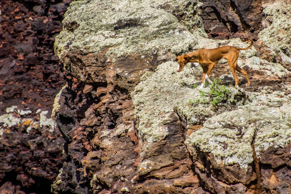 A dog called a Podenco Canario looking down into the volcano crater in Lanzarote.
