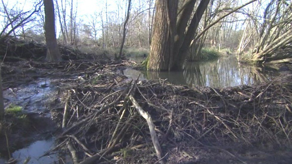 Essex beavers