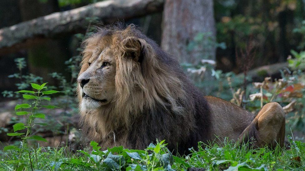 Thor the lion
