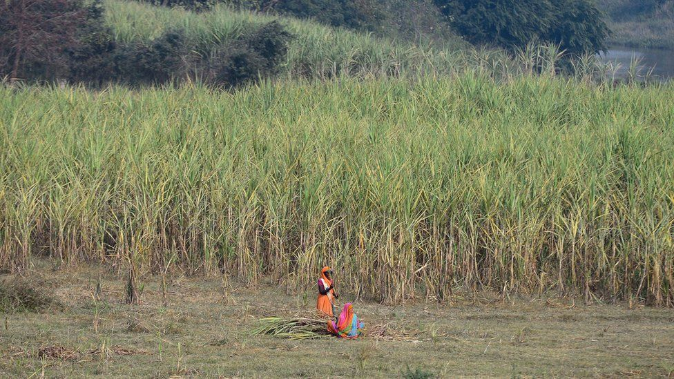This photograph taken on December 6, 2018 shows an Indian farmer harvesting sugarcane crop in a field on the outskirts of Ayodhya in northern Uttar Pradesh state