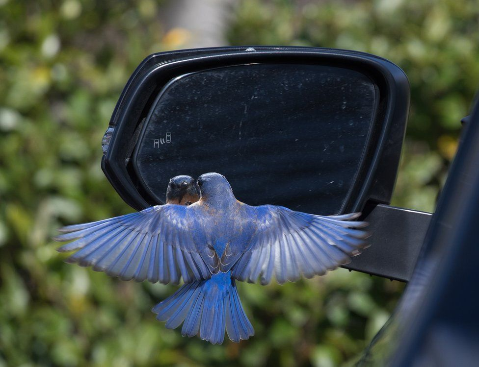 A bluebird is confused by its own reflection in a car wing mirror