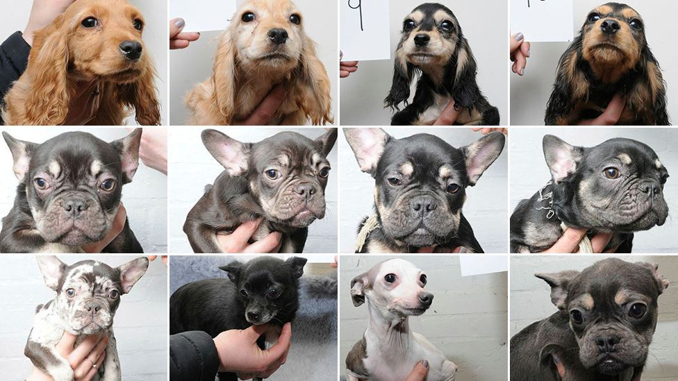 Twelve of the dogs found by police at West Meadows, Ipswich