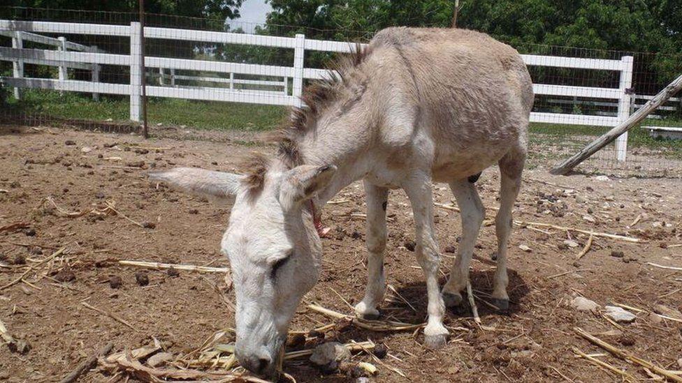 A lone donkey grazing