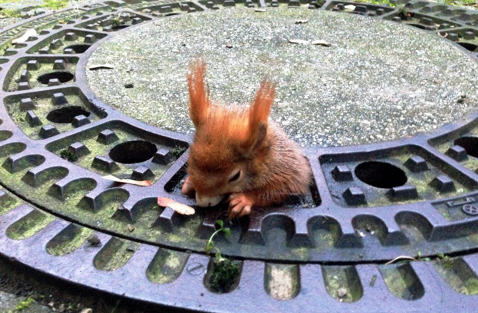 Red squirrel stuck in the grate of a manhole cover