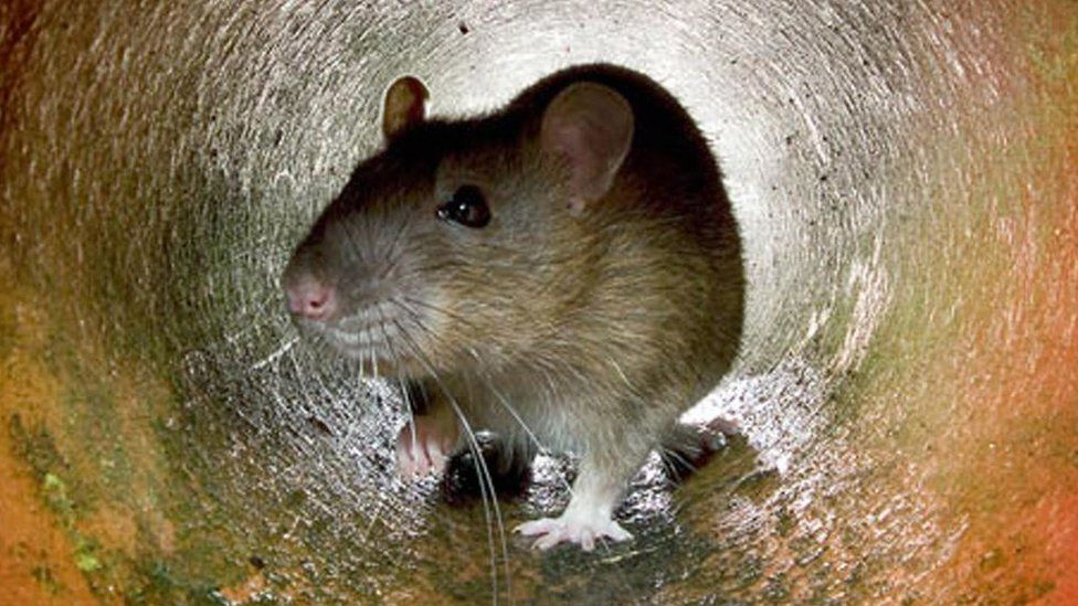 Liverpool's rats should be shot in the streets, a city councillor says