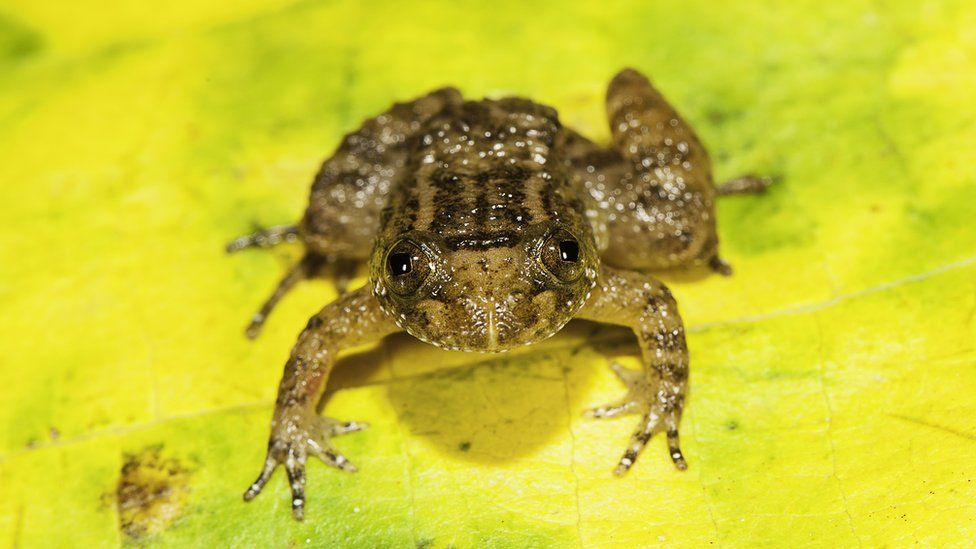 Athirappilly night frog