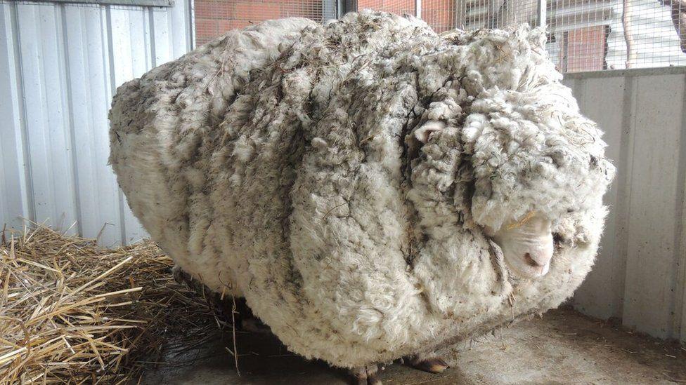 A heavily overgrown sheep near Canberra