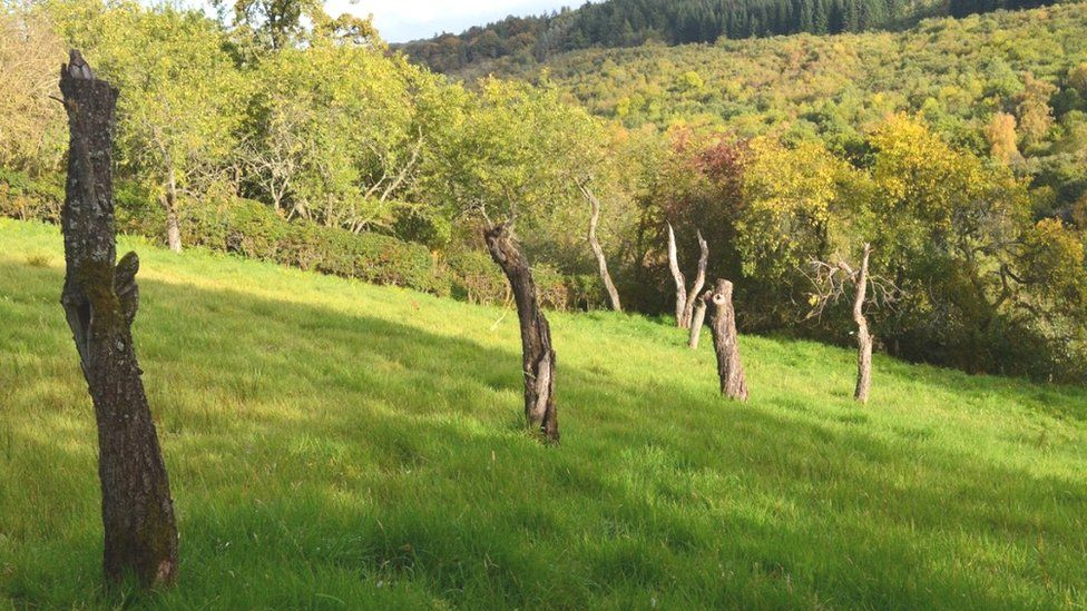 Stumps of Victoria plum trees in one of the orchards in the Hazelbank area of South Lanarkshire