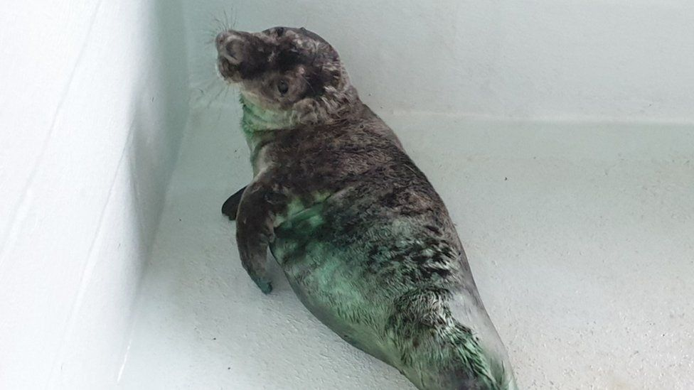 Seal pup, Skittles