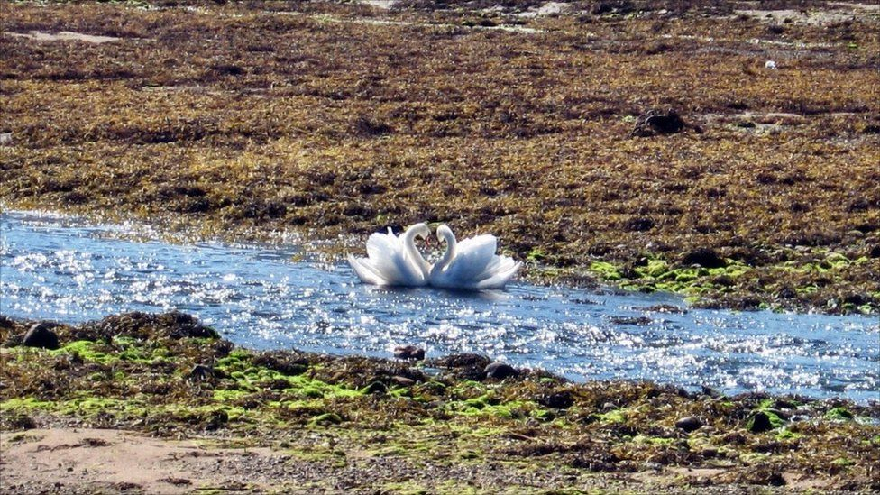 Swans at Loch Goil
