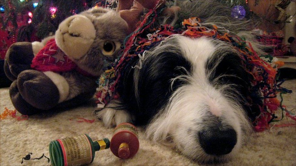 Cassie the dog after new year celebrations