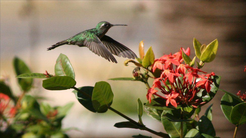 A hummingbird in flight