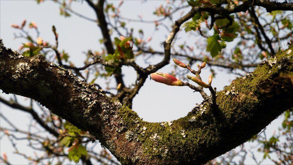 Buds on a tree