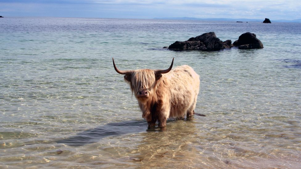 Highland cow standing in shallow sea water