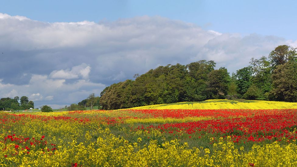Poppies and oil seed rape growing in a field